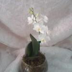 mini orquidea no vidro