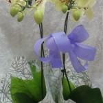 orquidea amarela 2 aster