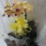 orquidea amarela cachepo