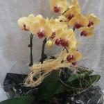 orquidea amarela salmao