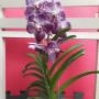 orquídea Vanda Lilas