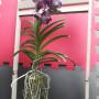 orquídea exotica vanda