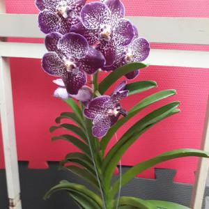 orquidea vanda exotica