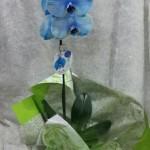 orquidea azul cachepo