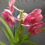 orquídea exotica vanda vermelha
